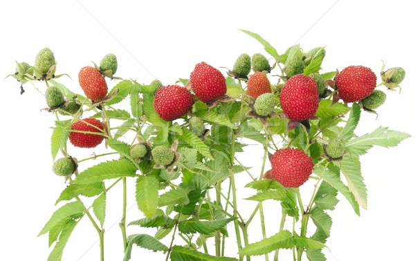 Prickly bush with  big red berries  Stock photo © vavlt