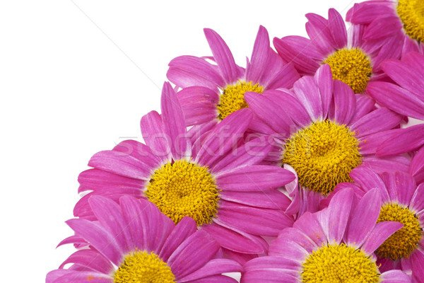 Pink camomiles on white descktop Stock photo © vavlt