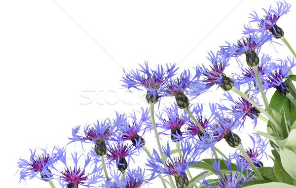 синий открытки нежный изолированный белый цветок Сток-фото © vavlt
