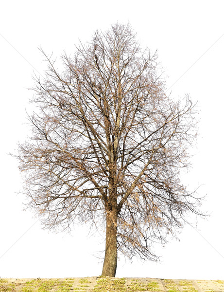 The lonely isolated tree without leaves Stock photo © vavlt