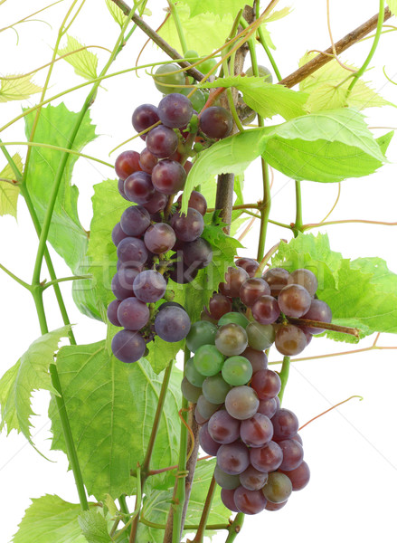 Unripe red grapes Stock photo © vavlt