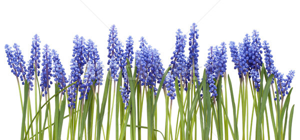 Border from first springs flowers ' Muscari'  Stock photo © vavlt