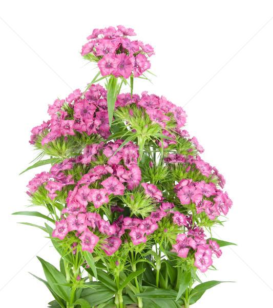 Rosa clavel Bush cama europeo flores Foto stock © vavlt