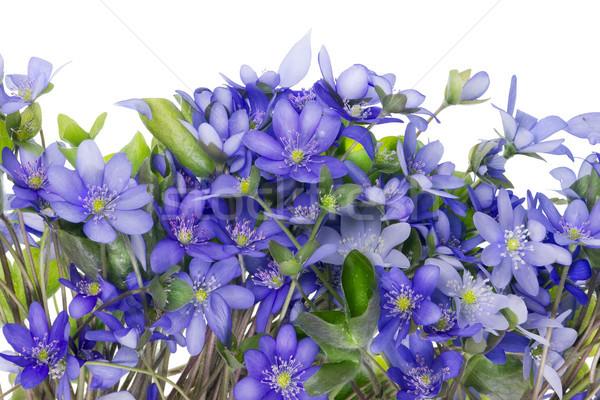 Stock fotó: Káosz · kék · vad · virágok · esőcseppek · szirmok · izolált