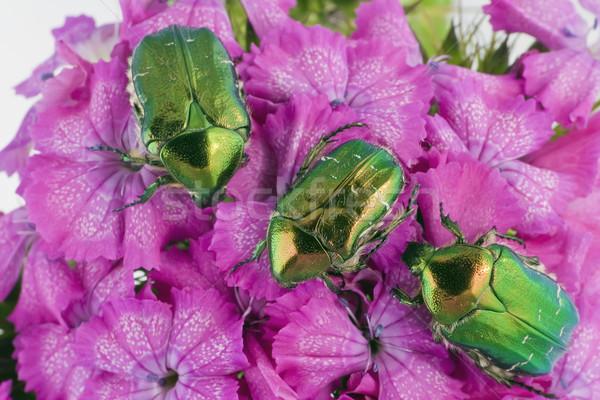 Verde erros rosa flores três esmeralda Foto stock © vavlt