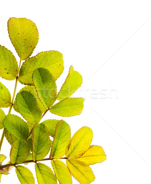 Wild rose leaves macro postcard Stock photo © vavlt