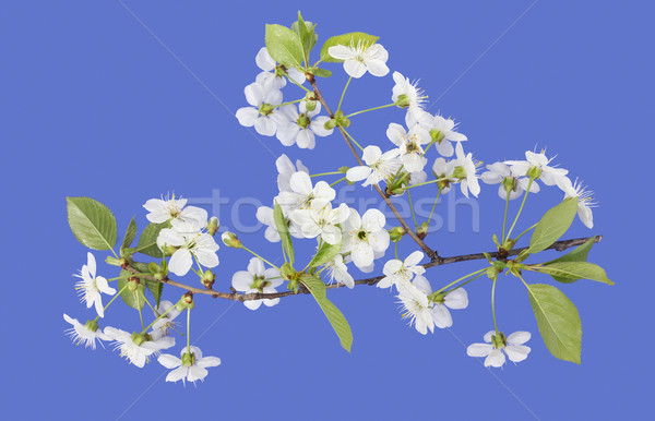 spring cherry blossoms on  blue Stock photo © vavlt