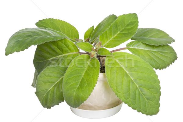 Favori bitki yeşil dekoratif yalıtılmış Stok fotoğraf © vavlt