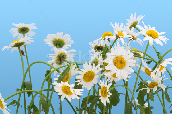 Camomiles isolated on  cyan Stock photo © vavlt