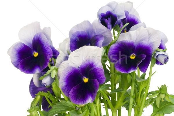 bush of dark-violet Pansies Stock photo © vavlt