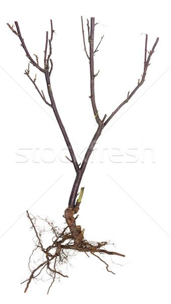 Halloween tree concept  Stock photo © vavlt