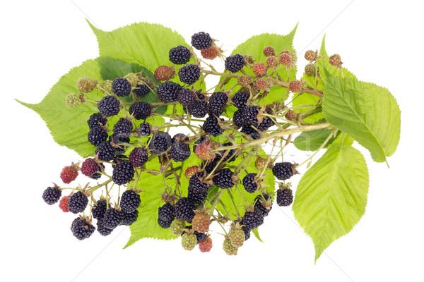 Szeder bokor bogyó gyümölcsök levelek izolált Stock fotó © vavlt