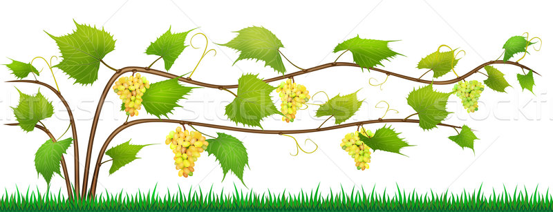 Grapes isolated bush with berries Stock photo © vavlt