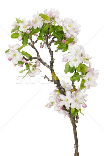 Edad manzano nuevos flores solitario rama Foto stock © vavlt