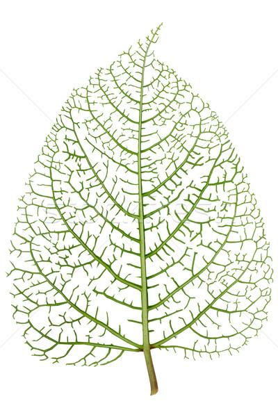 葉 スケルトン 静脈 緑 本当の ライブ ストックフォト © vavlt