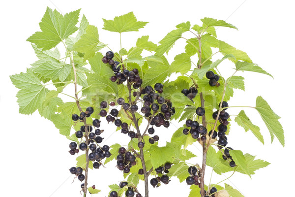 Branches of a black currant Stock photo © vavlt
