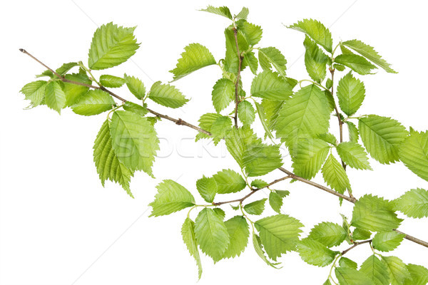 Branch of filbert (Corylus) bush  Stock photo © vavlt