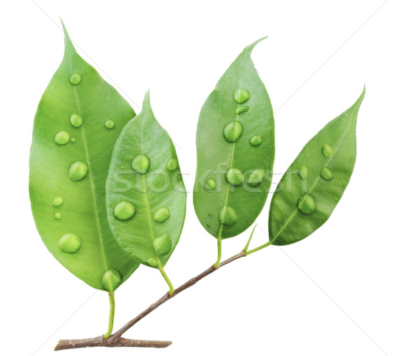 Branch of plant 'Ficus' and water drops macro Stock photo © vavlt