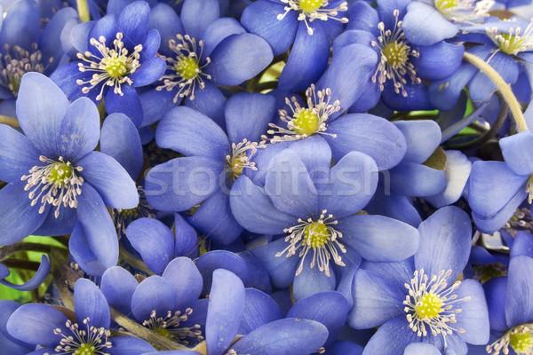Igazi első európai virágok kék vad Stock fotó © vavlt