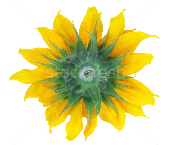 Backside of sunflower isolated Stock photo © vavlt