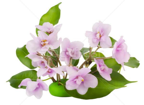 Gentle pink violets flowers Stock photo © vavlt