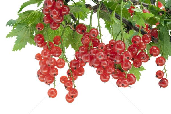赤 スグリ 支店 液果類 孤立した ストックフォト © vavlt