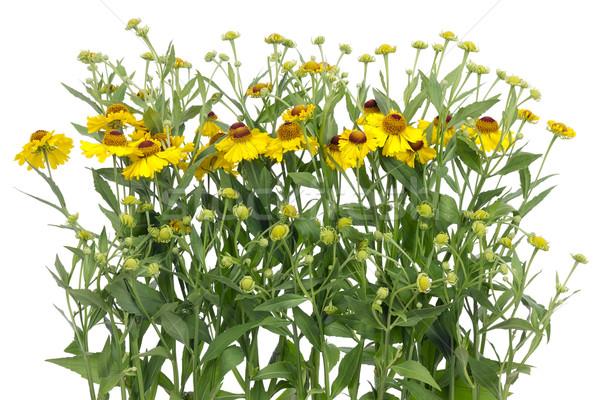 желтый цветы границе изолированный белый лист Сток-фото © vavlt