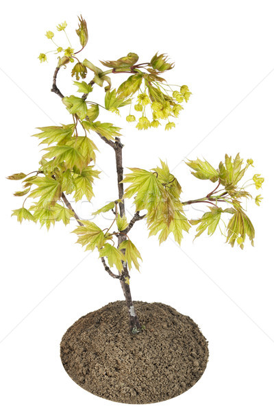Blossoming  maple tree Stock photo © vavlt