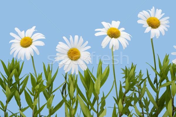 Camomiles isolated on  sky cyan Stock photo © vavlt