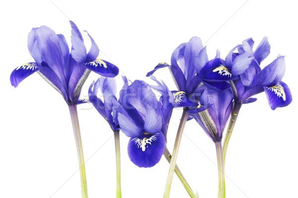 Spring  blue irises flowers Stock photo © vavlt