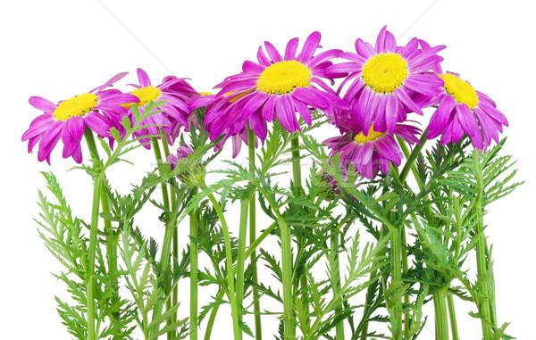 Pink spring daisies border Stock photo © vavlt