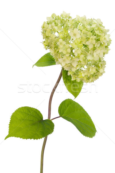 Lonely isolated Hydrangea bush Stock photo © vavlt