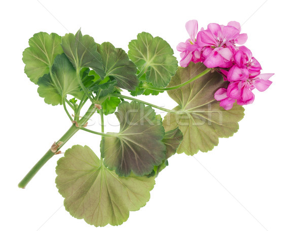 favorite indoor plants Pink Geranium Stock photo © vavlt