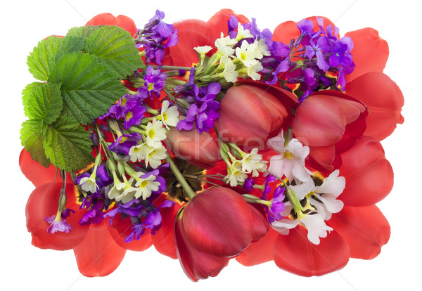 Sangrento primavera vermelho tulipas primeiro flores Foto stock © vavlt
