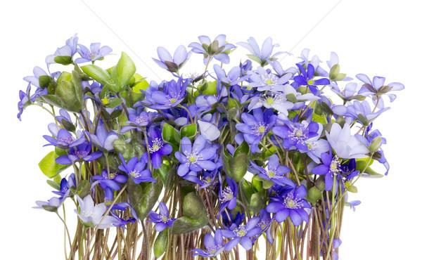 Border from first springs flowers Stock photo © vavlt