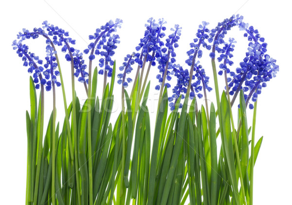Gentle Easter grass and blue flowers Stock photo © vavlt
