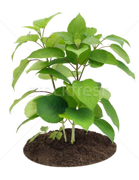 Jonge jonge boom spruit tuin geïsoleerd witte Stockfoto © vavlt
