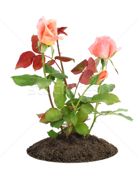 Blossoming small pink roses Stock photo © vavlt