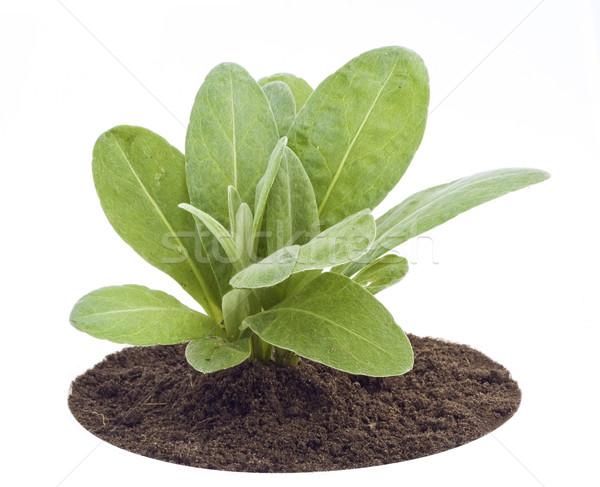 Young sapling, sprout a garden cornflower Stock photo © vavlt