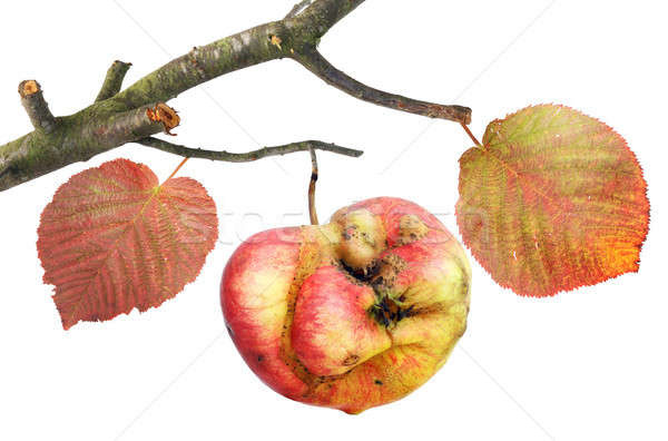 Tasteless curve apple on a branch  Stock photo © vavlt