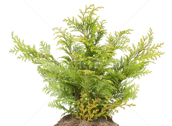 Young sapling, sprout a Golden Thuja on bed Stock photo © vavlt
