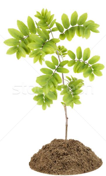 Montana ceniza pequeño árbol rojo primavera Foto stock © vavlt