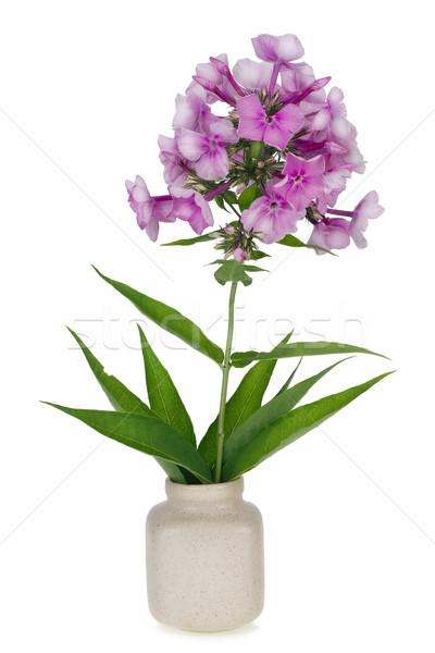 Rózsaszín makró virág ág minimalista izolált Stock fotó © vavlt