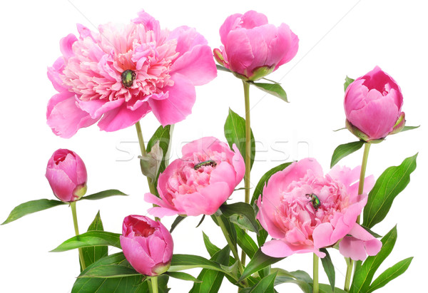Pink June peonies and  bugs Stock photo © vavlt