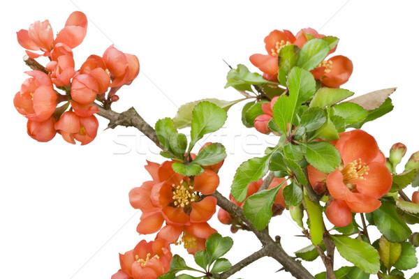 Японский айва макроса цветок изолированный Сток-фото © vavlt