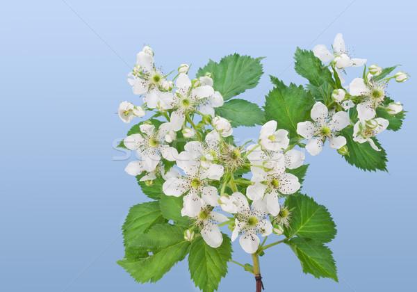Flowers of a garden blackberry Stock photo © vavlt