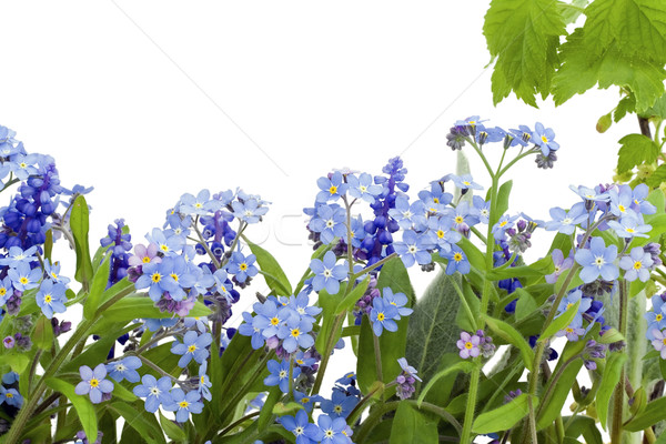 Border from forget-me-nots (Myosotis) Stock photo © vavlt