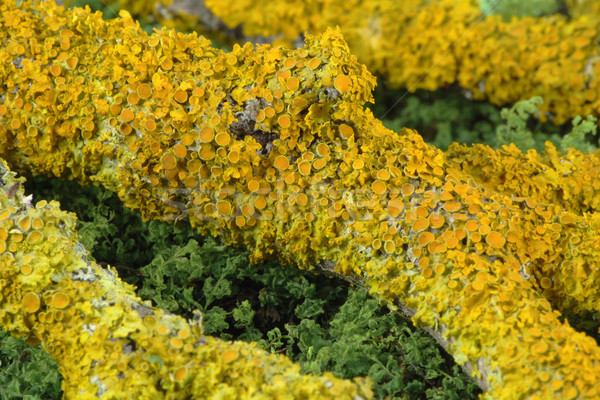 Yellow lichen on a branch Stock photo © vavlt
