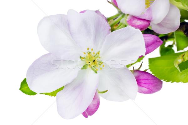 Apple tree flower  macro isolated Stock photo © vavlt