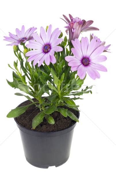 Preferito viola fiore decorativo esotiche impianto Foto d'archivio © vavlt